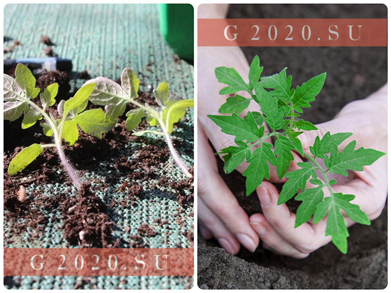 Когда сажать помидоры на рассаду в 2020 году, благоприятные дни по лунному календарю